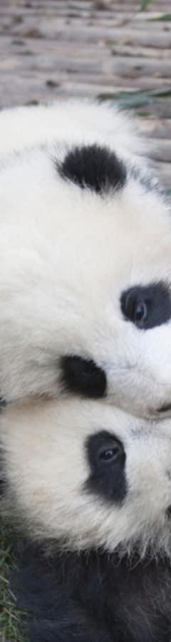 Movie still from Pandas